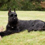 Guard Dog Breeds